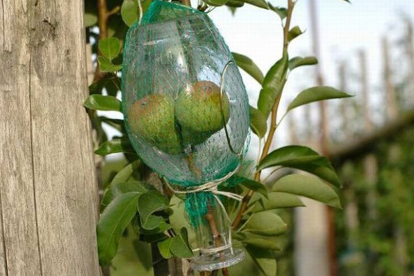 The pear version of rakija often comes with a full-size pear grown inside the bottle. Image: acidcow.com