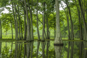 Stand of tupelo trees growing in swamp