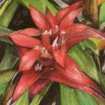 Heather Torres Art | Bromeliad Love | watercolor painting of red bromeliad flower