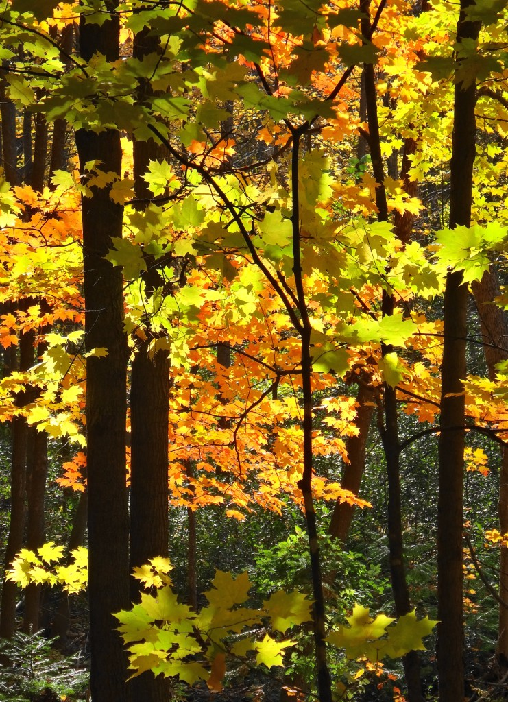 Maple leaves glow red and gold in a sunbeam through the forest canopy.
