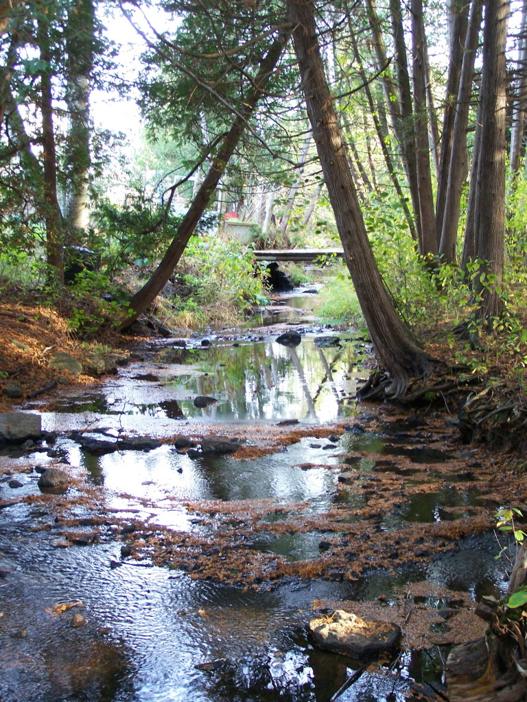 A shallow creek runs under the shade of leaning cedar trees