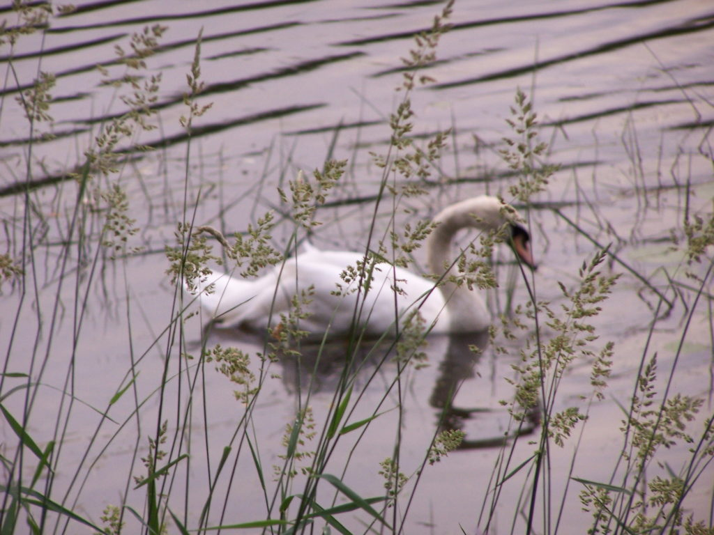 A slightly out-of-focus swan floats on the river behind a screen of tall grass.