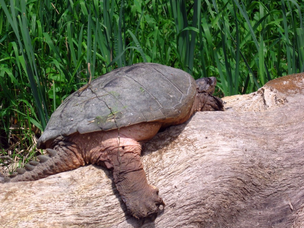 An enormous snapping turtle basks on a whitened log, her clawed, rear leg dangling toward the water.
