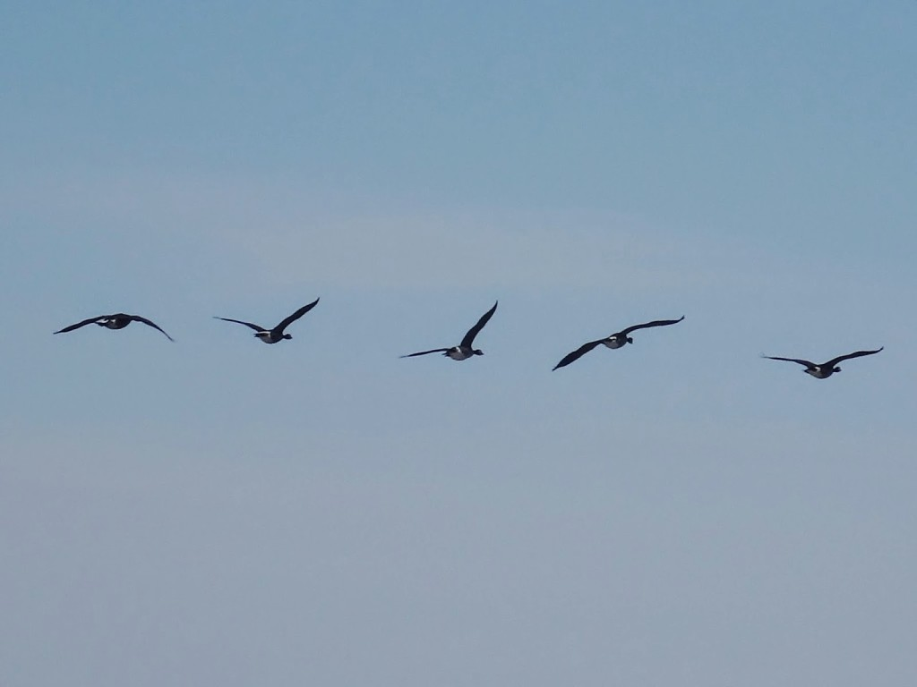 A small flock of Canada geese flies overhead