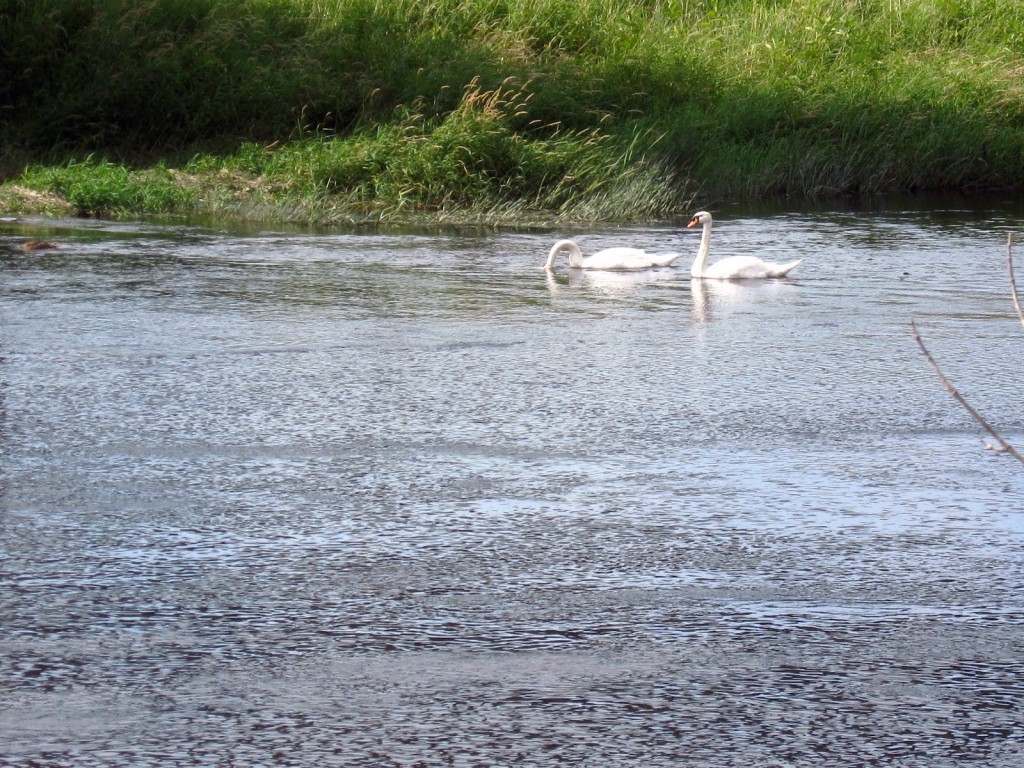 A pair of white swans swim along the grassy, far shore of the Rideau River, which ripples in a breeze.