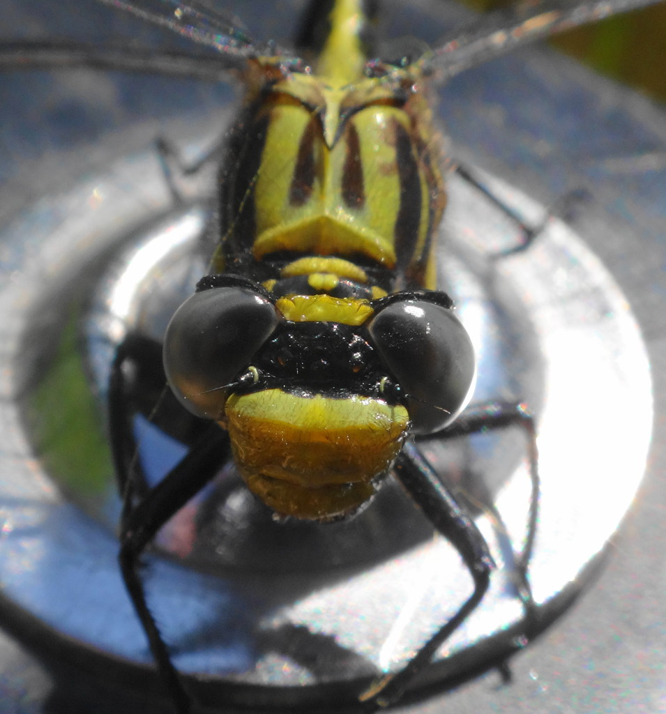 A closeup of the face of the Lilypad Clubtail.