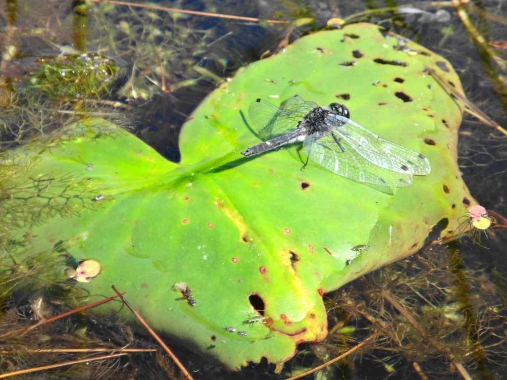 A dot-tailed whiteface dragonfly rests on a lilypad.