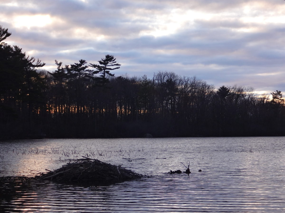 In the dusk light, a beaver lodge is silhouetted against the grey lake water, with a pine-covered shoreline in the background.