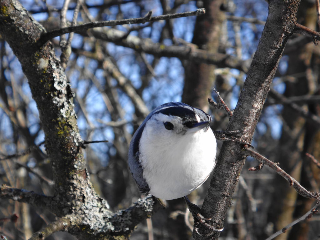 A white-breasted nuthatch perches on a twig at Mud Lake