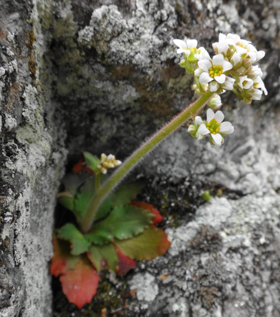 An early saxifrage blooms in a cluster of white flowers, emerging from a rosette of leaves clinging to a crevice in bare rock.