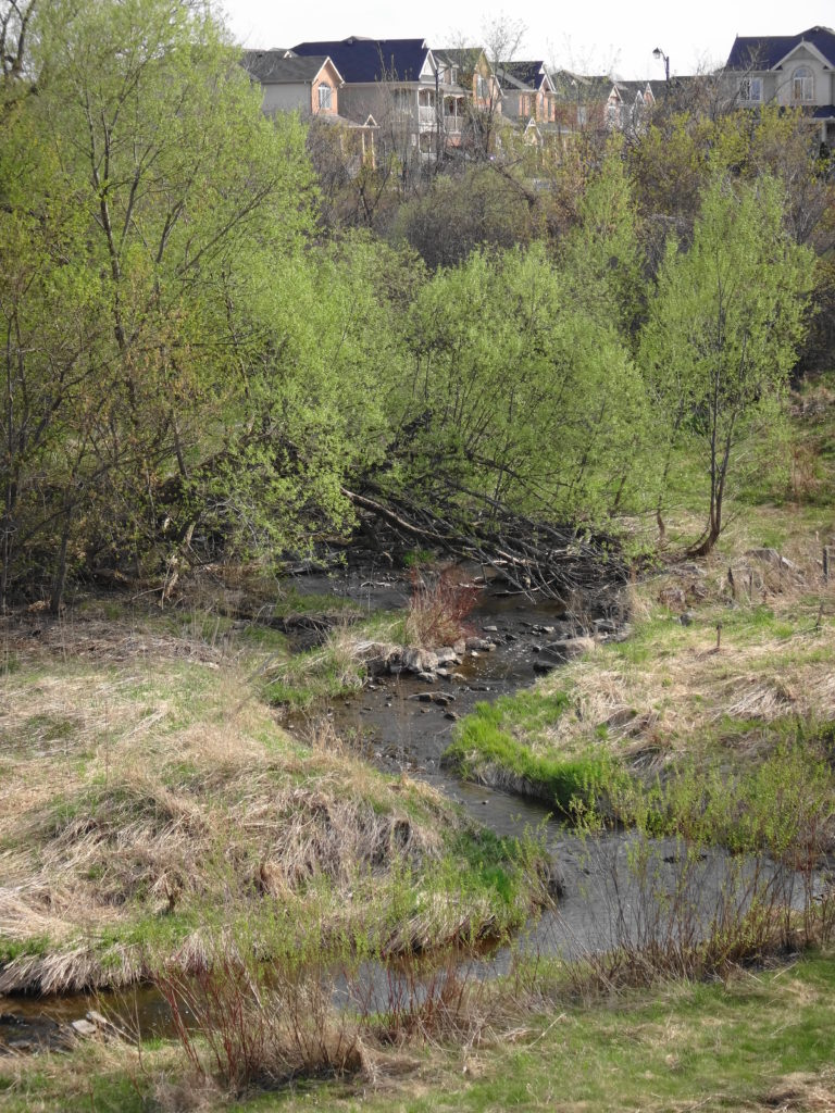 Young trees and shrubs begin to colonize lower Poole Creek.