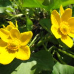 Yellow marsh marigolds bloom beside Upper Poole Creek.