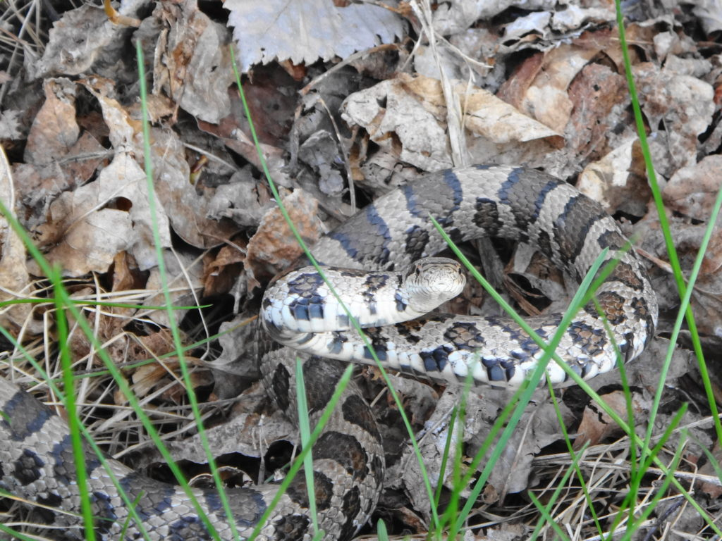 A milk snake curls up defensively somewhere in Ottawa's Greenbelt