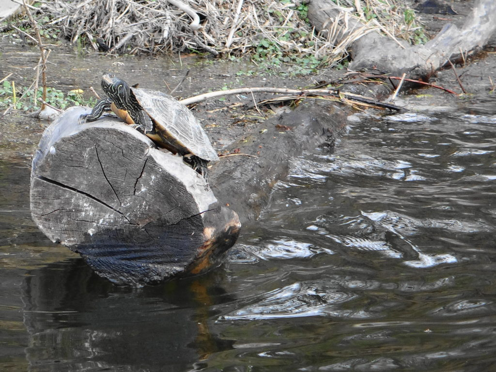 A map turtle basks on a log in the Rideau River.