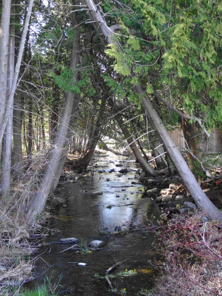 Cedar trees lean from right and left, creating a shady canopy over Poole Creek