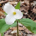 A photograph of a white trillium in full bloom at Pink Lake.