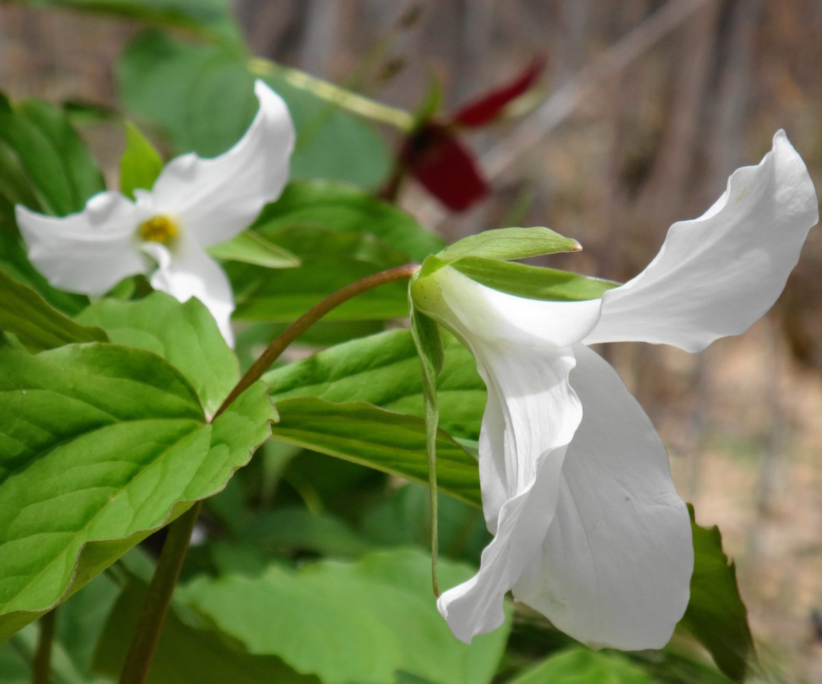 A pair of white trilliums blooms in the forest at Pink Lake.