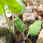 Wild ginger growing at pink lake