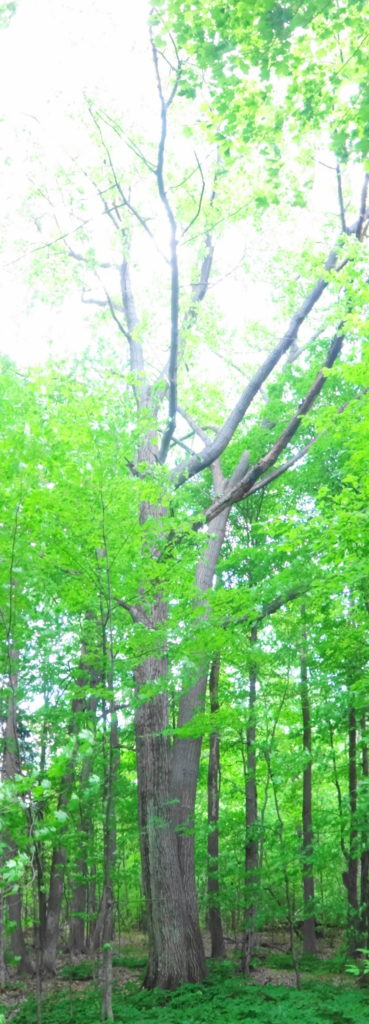 A massive red oak tree reaches to the canopy of Heart's Desire.