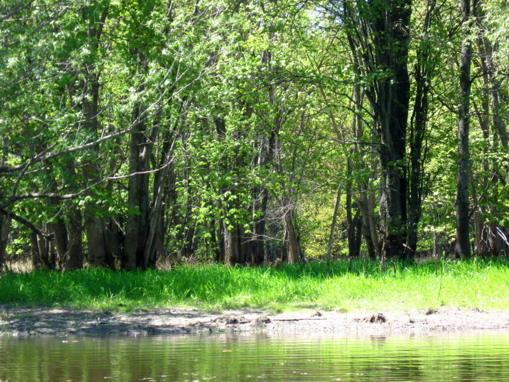 A stand of tall silver maple trees stand in sunlight along the low, floodplain of Constance Creek.