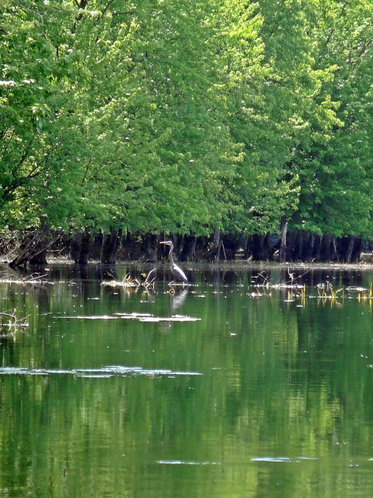 A great blue heron hunts in the shallow water along the edge of Constance Creek.