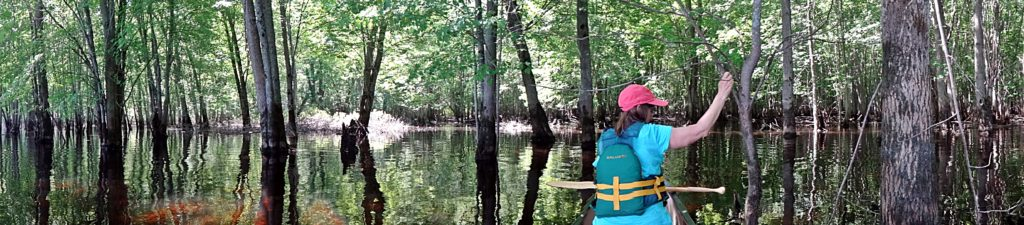 A panorama photograph shows a women sitting in the front of a canoe in a flooded silver maple swamp.