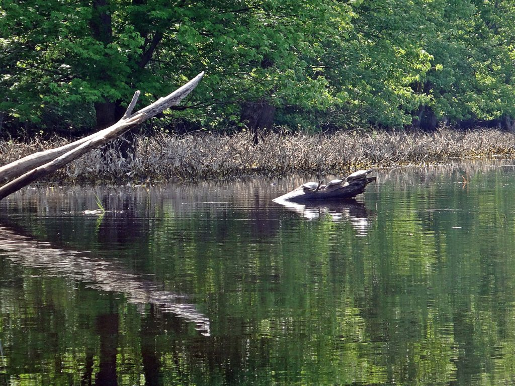 Three turtles bask on the projecting end of a log near the bank of Constance Creek. The treed shoreline reflects in the calm water.