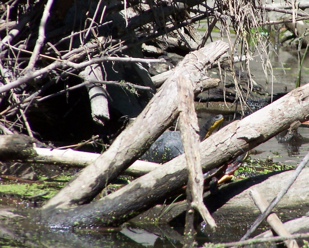 A large Blanding's turtle raises its head from log jam along the Carp River