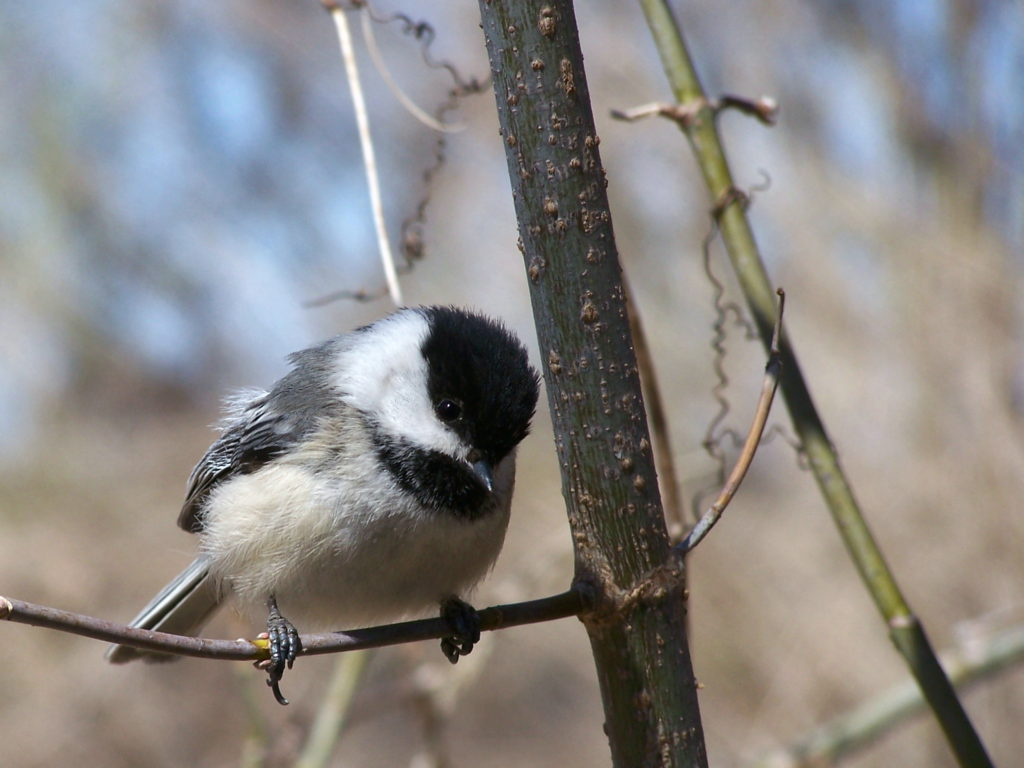 A black-capped chickadee perches on a twig at Mud Lake