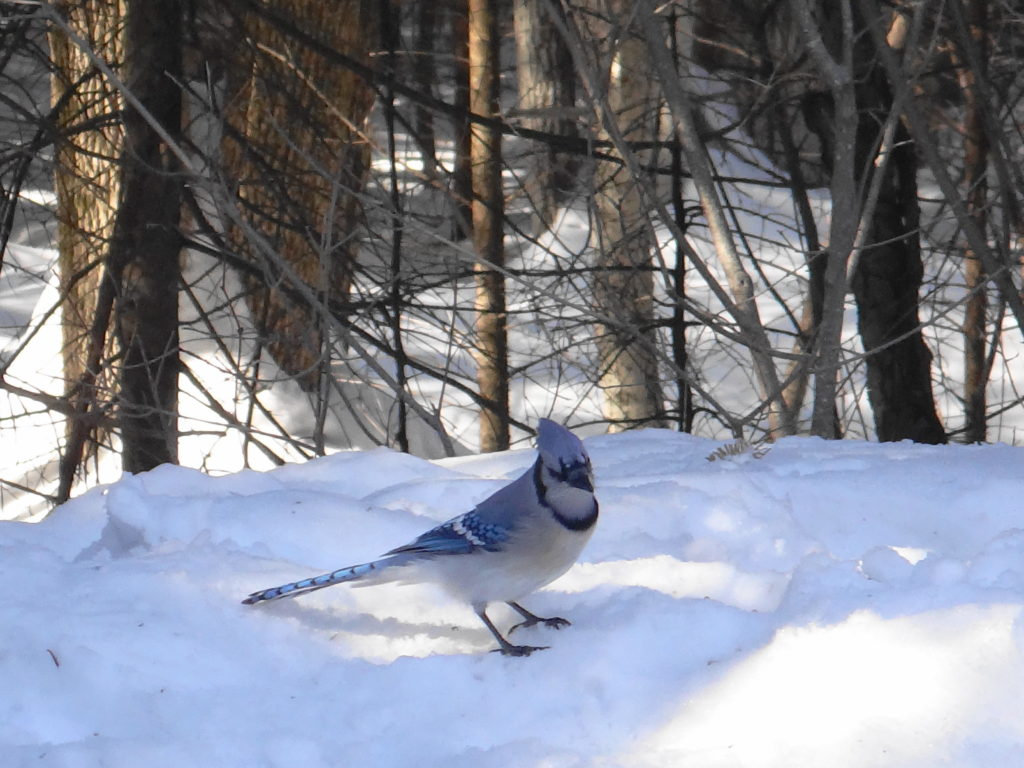 A blue jay sits on the snow along the Lime Kiln Trail in Ottawa's Greenbelt