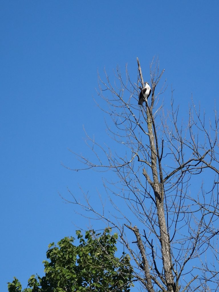 An osprey perches high in a tree overlooking the Rideau River