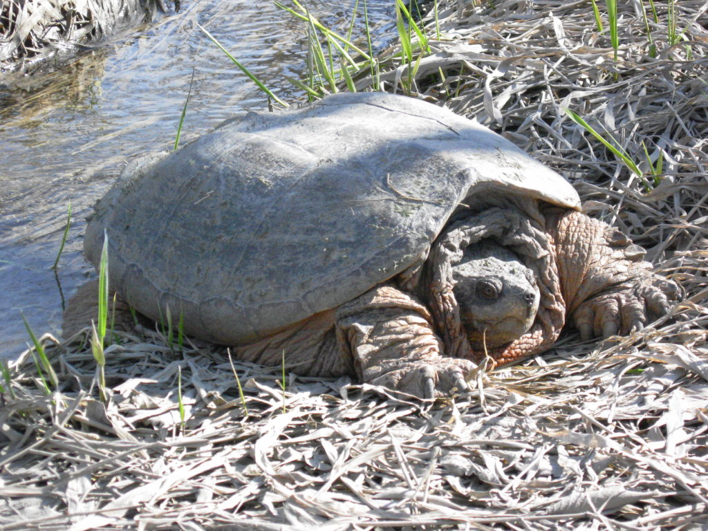 A large snapping turtle basks in the early spring sun beside a small stream on the Ottawa River shoreline near Petrie Island
