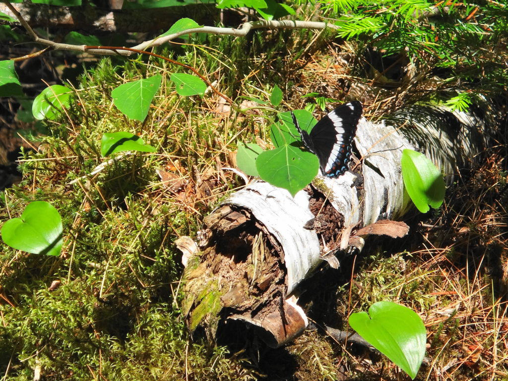 A white admiral butterfly lands on a rotting white birch log