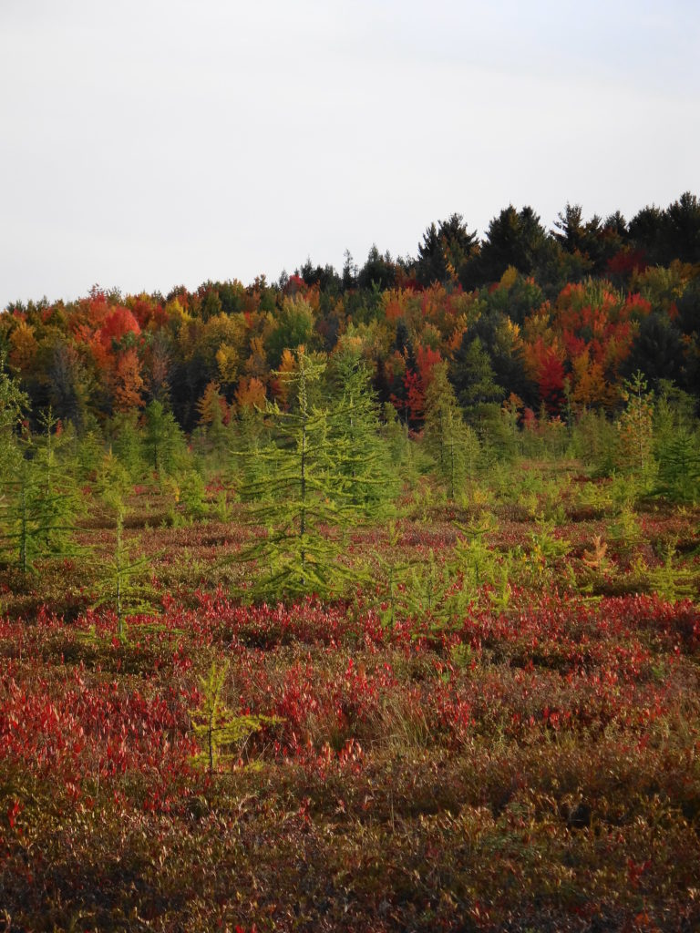 Stunted trees are scattered across the flat surface of the Mer Bleue bog, with a forested ridge in the background.