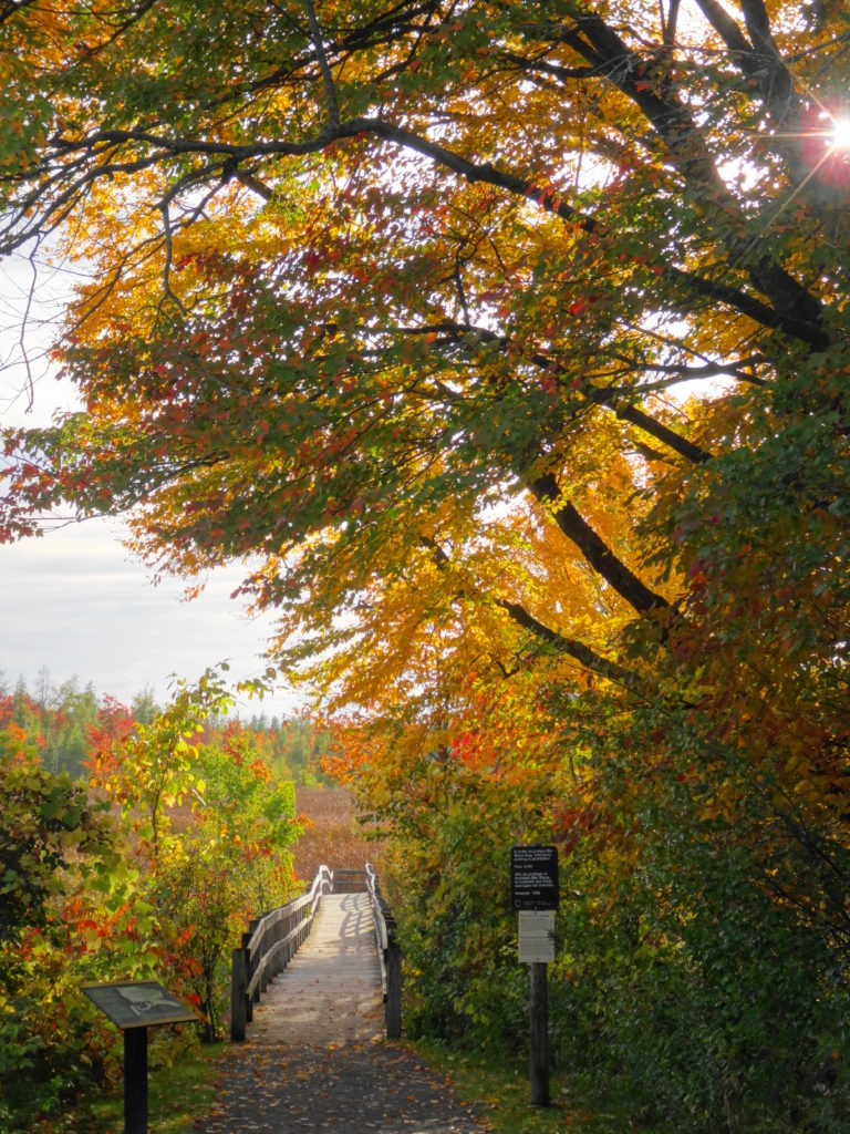 A path leads under a colourful autumn tree to the start of the Mer Bleue Boardwalk