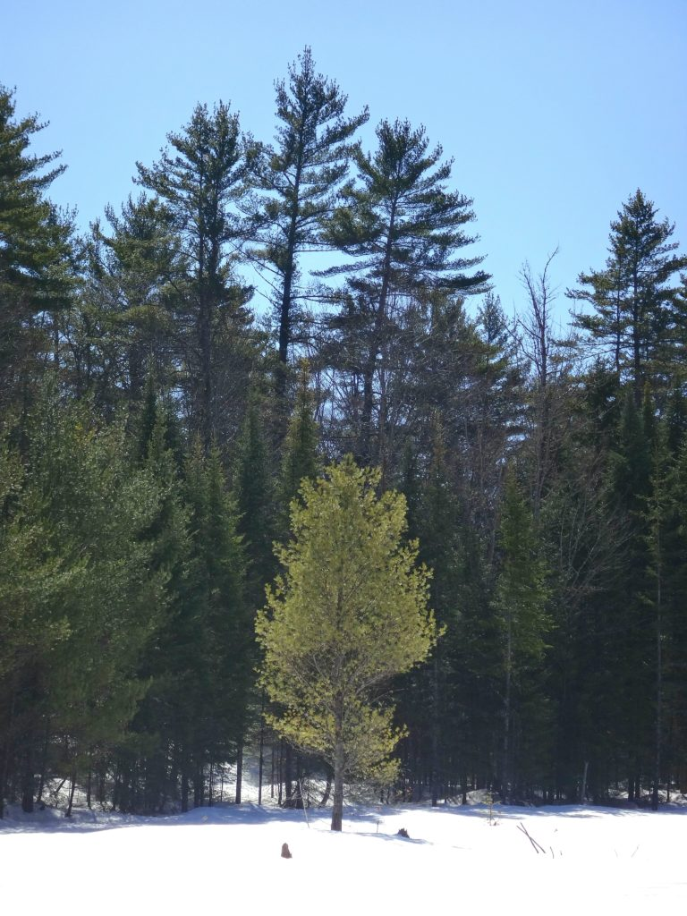 A young white pine sits at the edge of a snow-covered beaverpond, against a backdrop of older, darker pines.