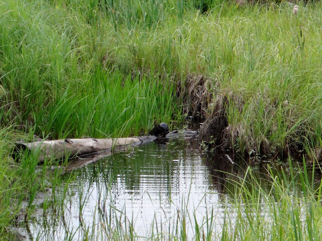 An otter plays on a log in a marshy pond at the Four Seasons Conservation Forest.