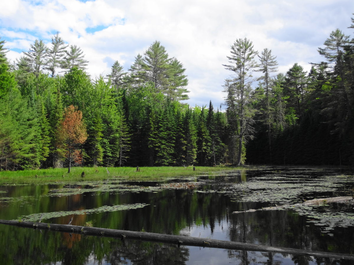 A small, pretty beaverpond lies in the midst of the forest on a bright summer day.