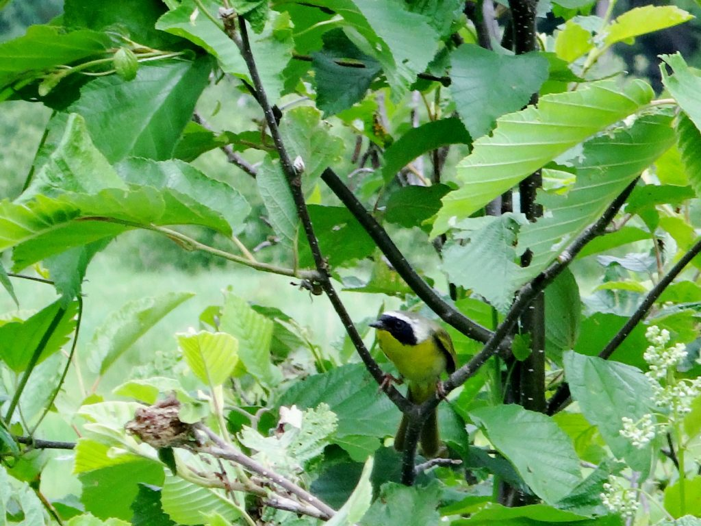 A black-masked, common yellowthroat perches on the branches of an alder bush.