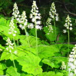 A cluster of white enchanter's nightshade blooms in the forest.
