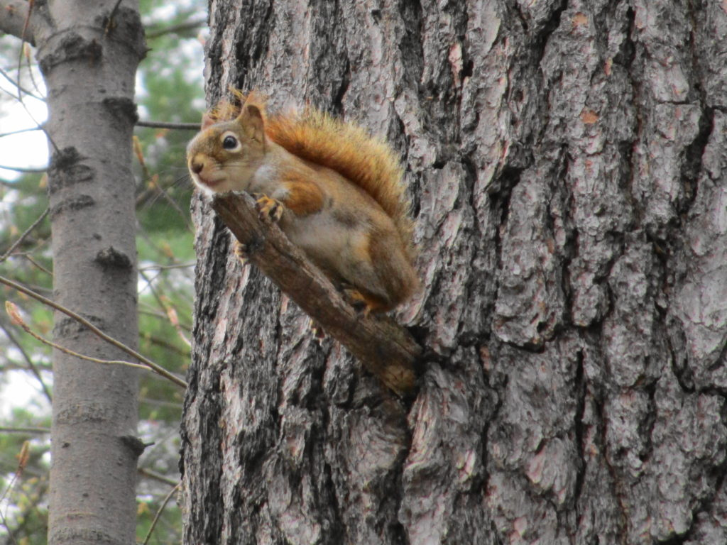A red squirrel perches on a stub of broken branch, hoping for a gift of peanuts.