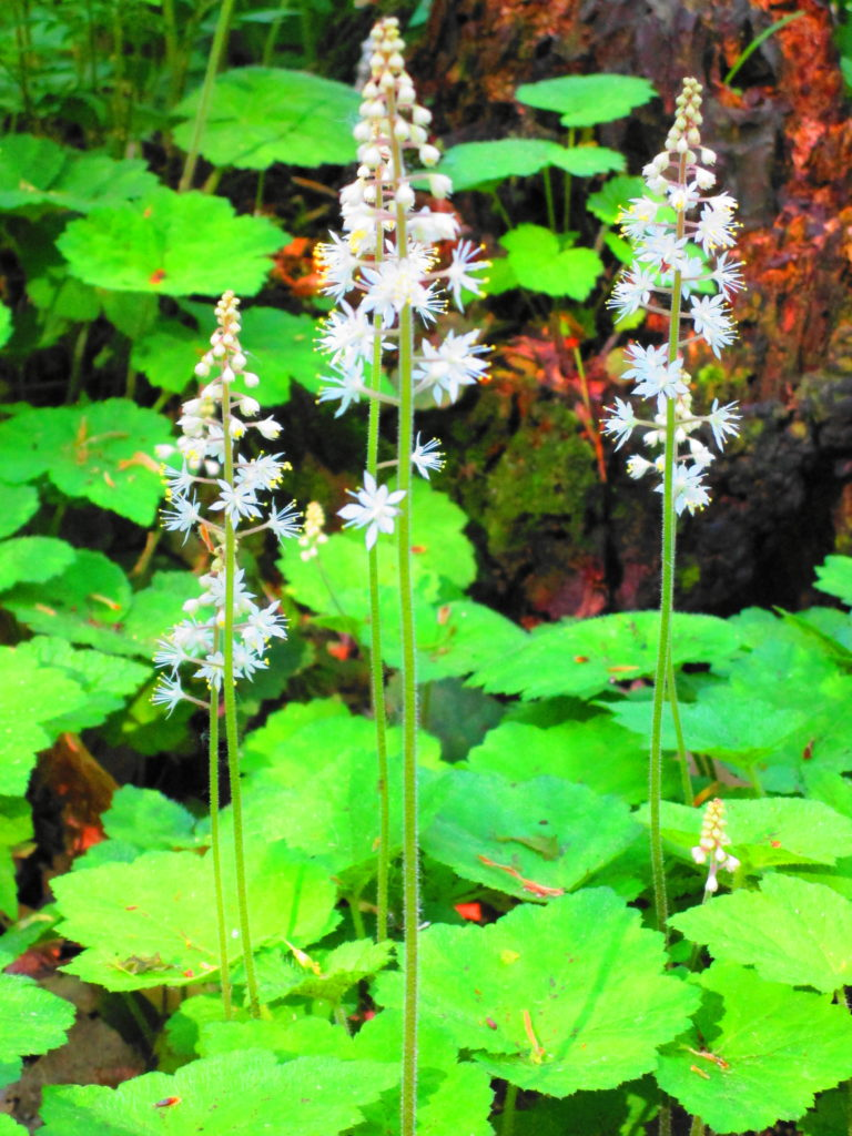 A cluster of tall white enchanter's nightshade blooms in the forest.