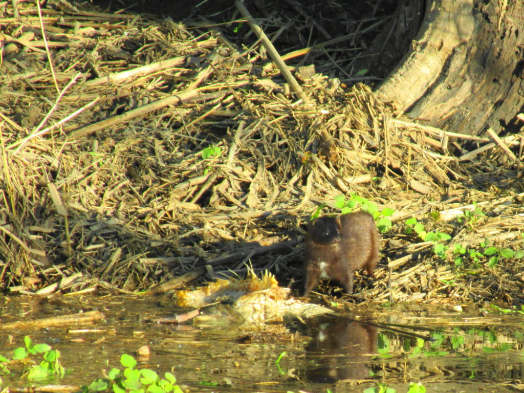A mink stands on the shore of the Rideau River with the carcass of a carp.