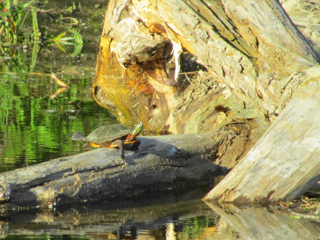 A painted turtle basks on a large log in the Rideau River.