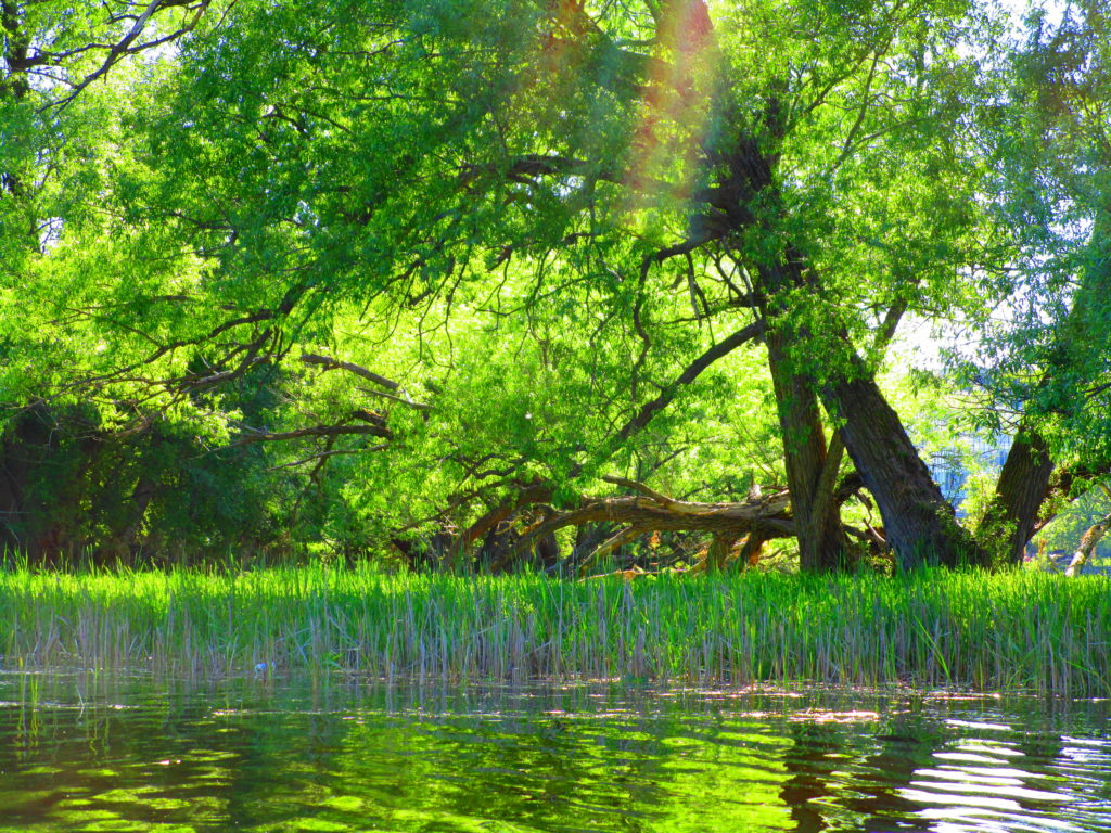 The sun glints through a large crack willow on the shoreline of the Rideau River at Vincent Massey Park.