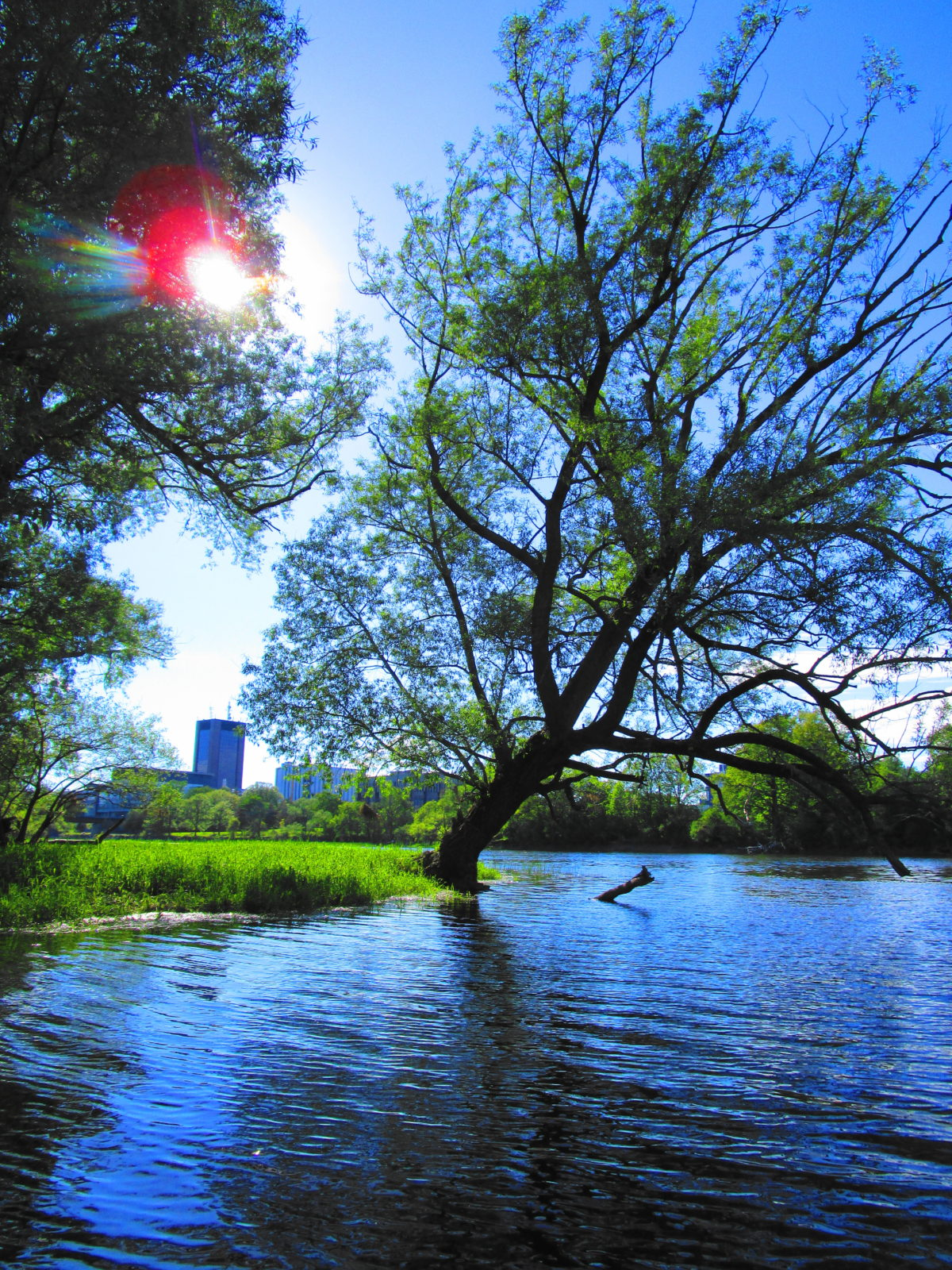 A crack willow leans out over the Rideau River.
