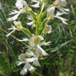 An endangered eastern prairie fringed orchid.