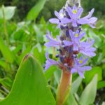 A purple pickerelweed grows in shoreline marsh.
