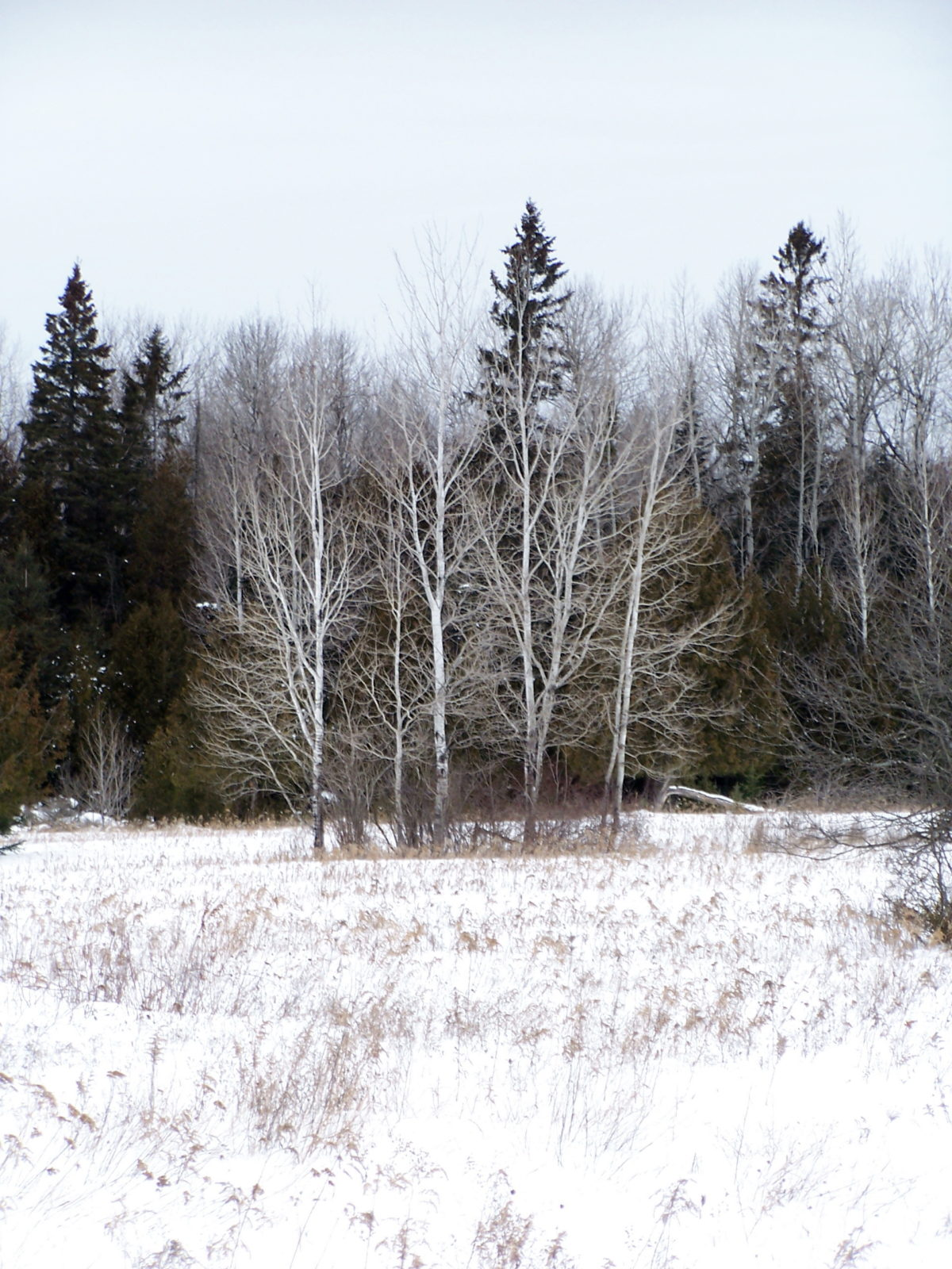 A copse of birch trees stands in a snowy, old field, with darger conifers behend.