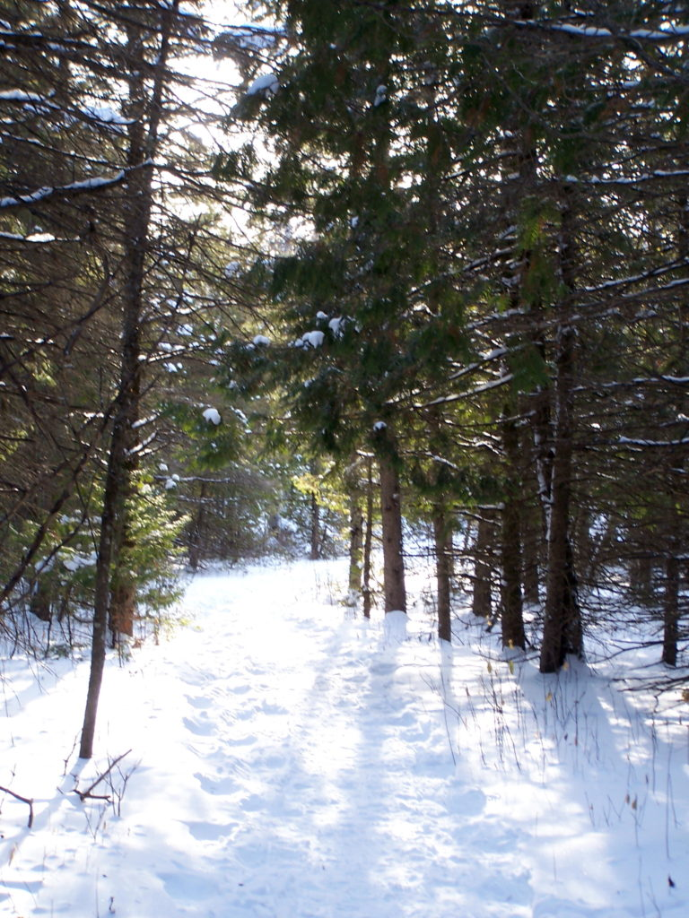 Sunlight lluminates a pathway through conifers along the Cedar Grove Trail.